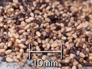 アメリカカンザイシロアリの糞粒、ペレット